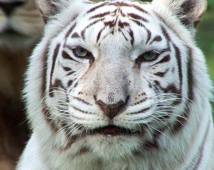 Mơ thấy hổ trắng