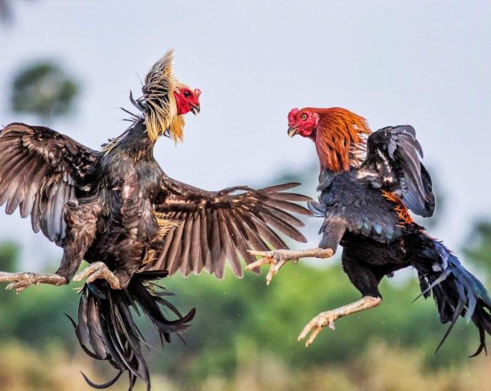 Mơ thấy chọi gà