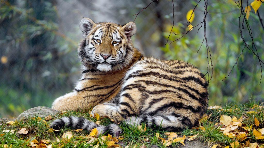 Mơ thấy con hổ