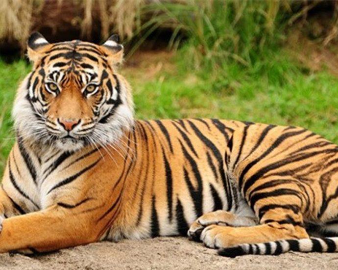 mơ thấy hổ đuổi theo